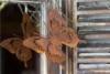 Schmetterling zum hängen in Rostoptik